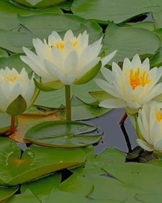 water-lily-flowers (1)