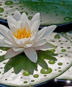 water-lily-with-rain-drops-paint-by-numbers