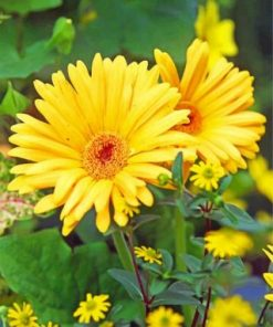 Yellow Gerbera Daisy paint by numbers