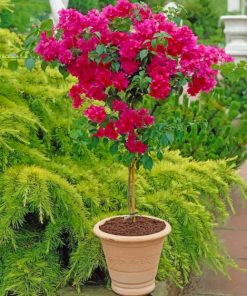 Bougainvillea Plant paint by numbers