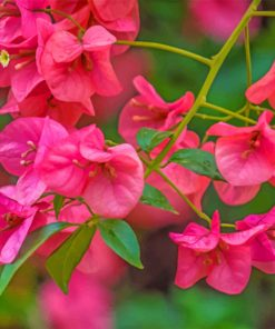 Pink Bougainvillea paint by numbers